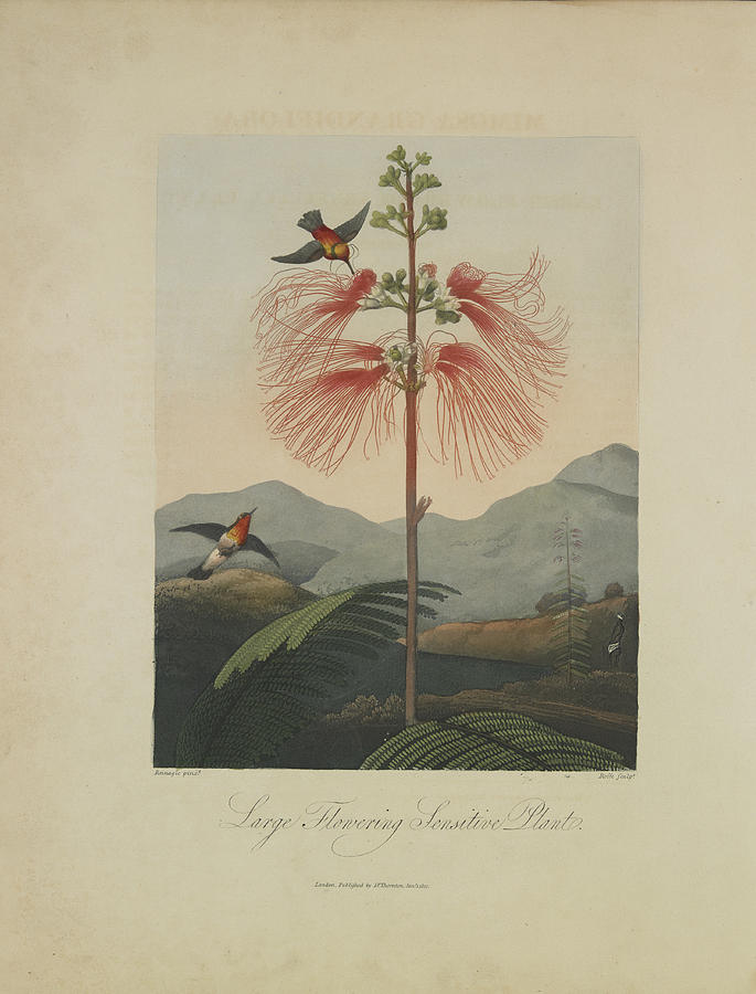 Large Flowering Sensitive Plant Drawing