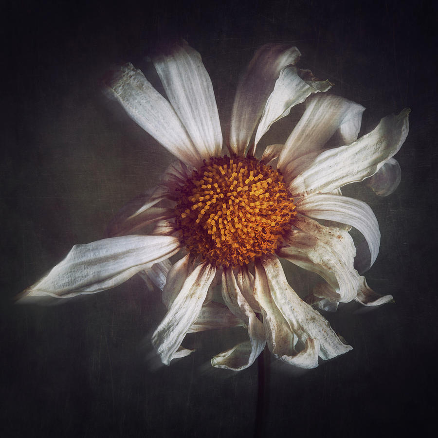 Flower Photograph - Last Dance by Amy Weiss