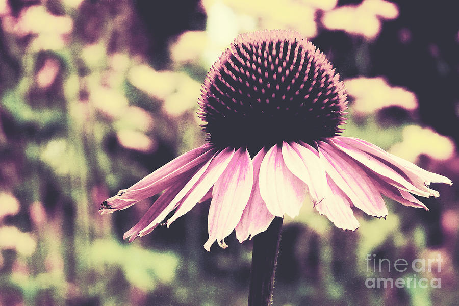 Echinacea Photograph - Last Summer by Angela Doelling AD DESIGN Photo and PhotoArt