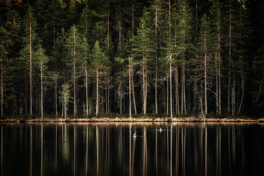 Late Loons Photograph