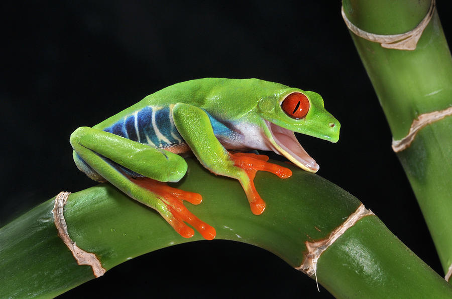 Agalychnis Callidryas Red Eye Tree Frog Anuran Amphibian Arboreal Rainforest Central South America Photograph - Laughter In The Rainforest by Paul Bratescu