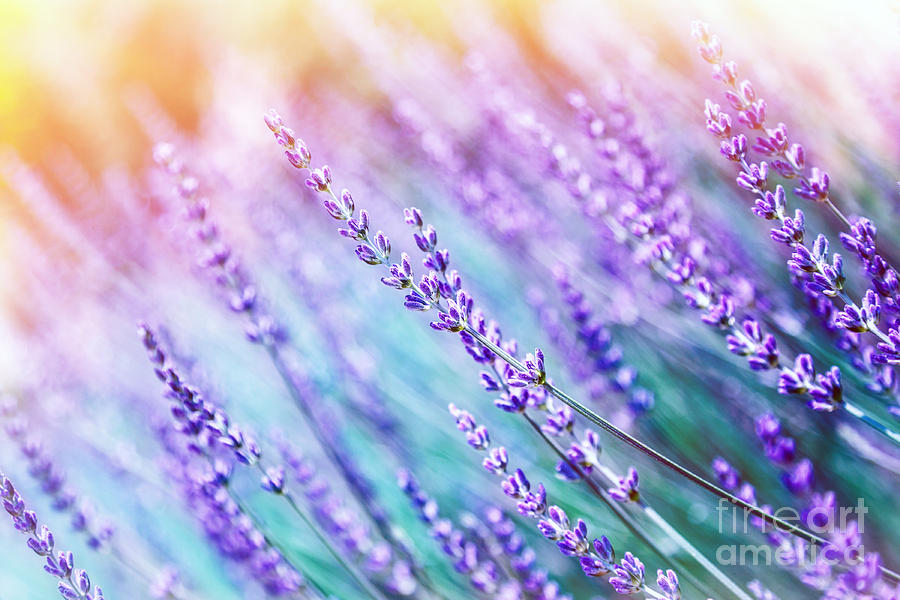 Lavender Flower Background Photograph By Anna Om