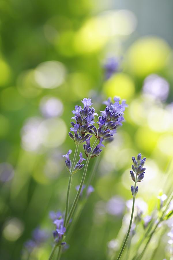 Lavender Photograph - Lavender Garden by Frank Tschakert