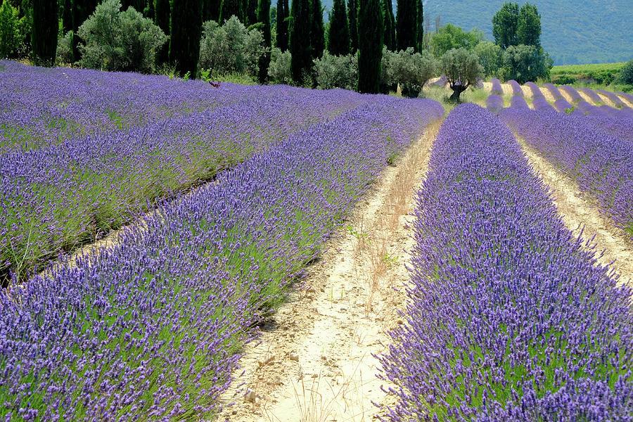 Lavender Heaven Photograph