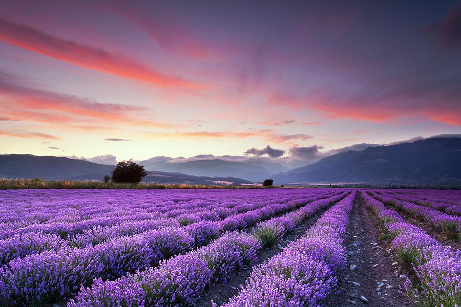 Dusk Photograph - Lavender Season by Evgeni Dinev