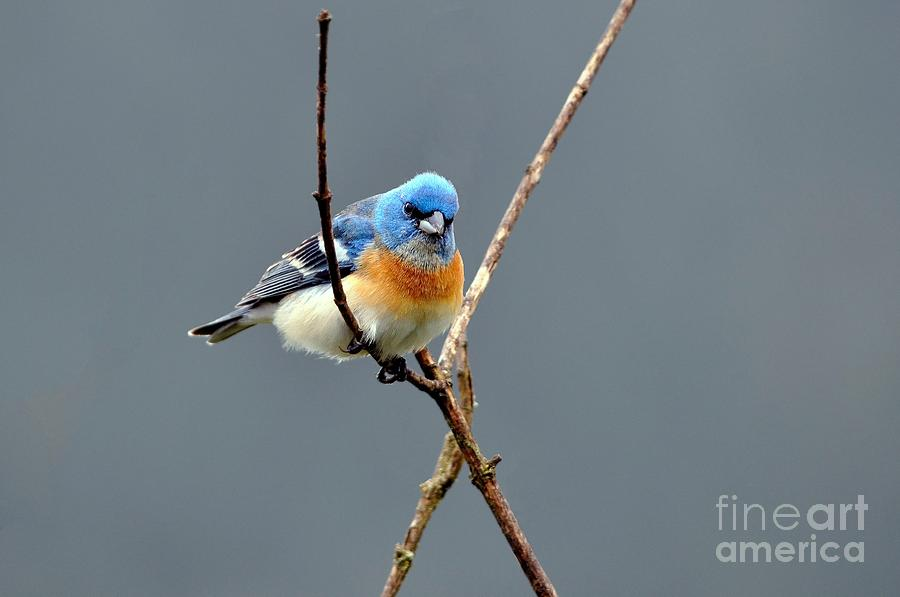 Lazuli Bunting Photograph - Lazuli Bunting II by Laura Mountainspring