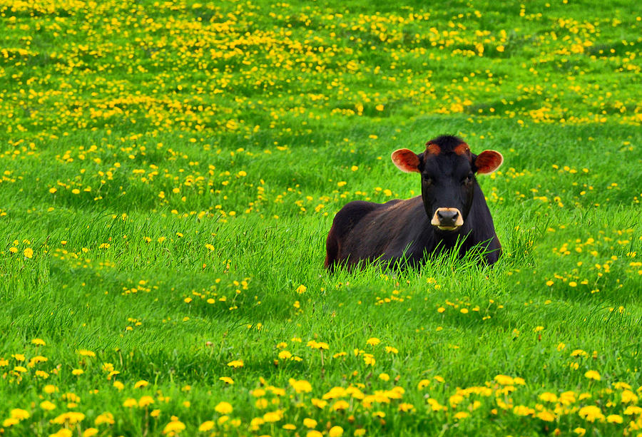 Cow Photograph - Lazy Day Cow by Emily Stauring