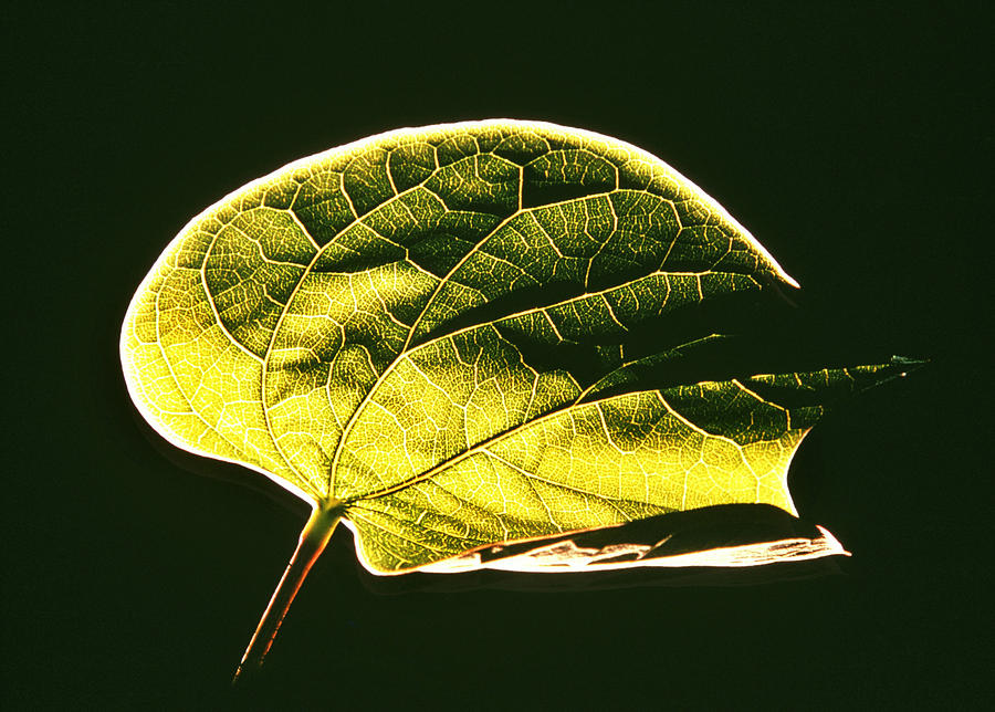 Leaf; Green; Plant; Plant Life; Ecology; Macro; Close Up; Close-up; Detail; Nature Photograph - Leaf Detail by Gerard Fritz