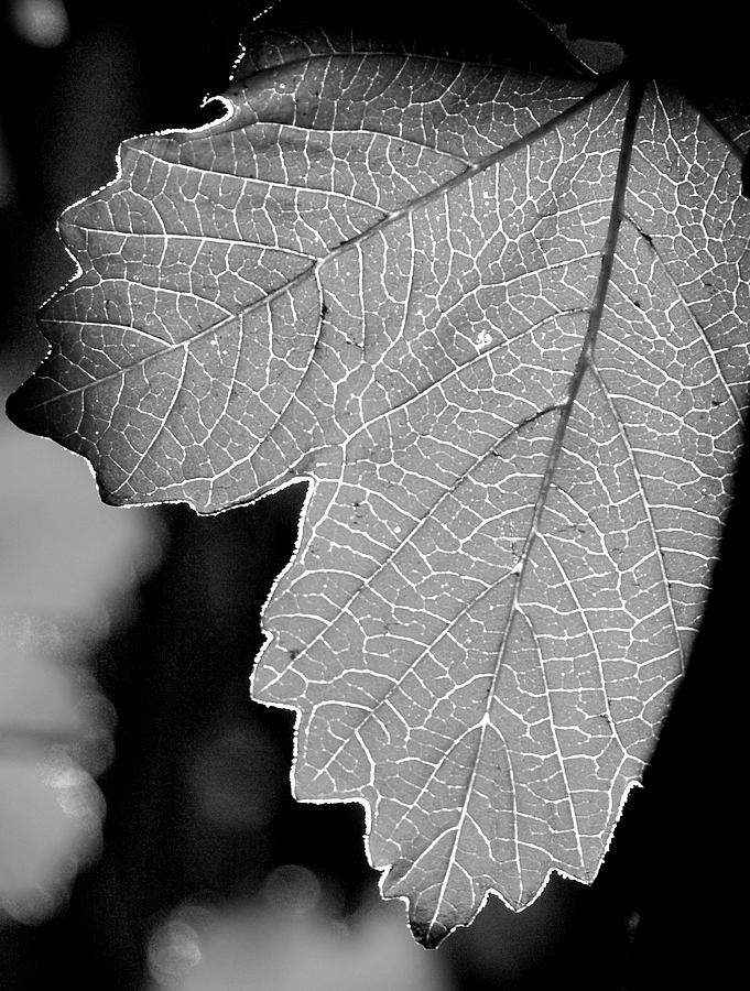Leaf Photo Black And White Photograph - Leaf Light Black And White by James Granberry