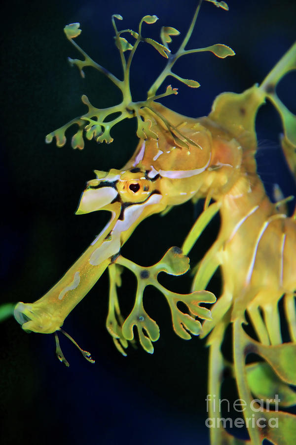 Leafy Sea Dragon Photograph by Mariola Bitner
