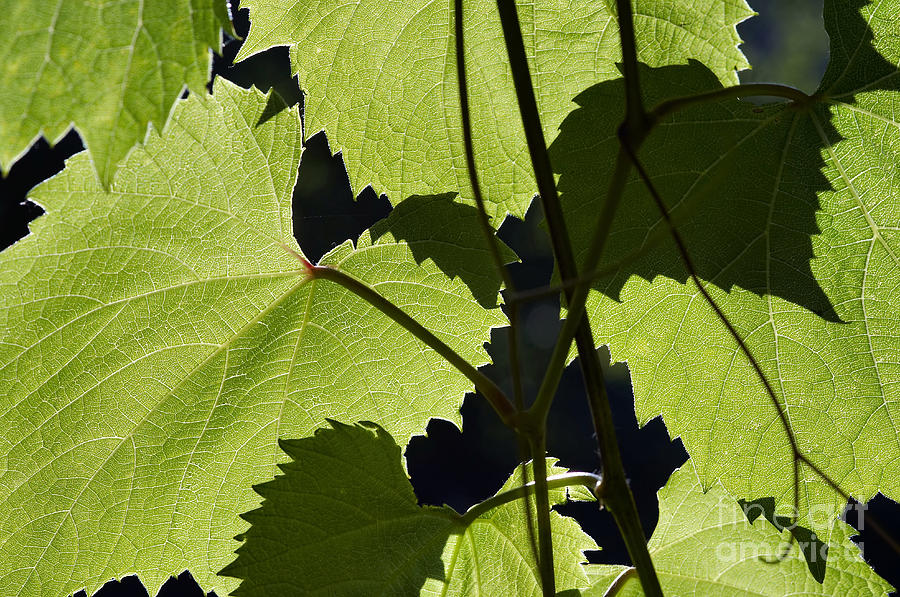Detail Photograph - Leaves Of Wine Grape by Michal Boubin