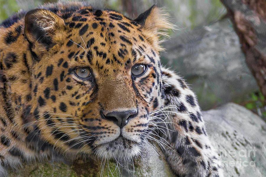 Leopard Portrait Photograph