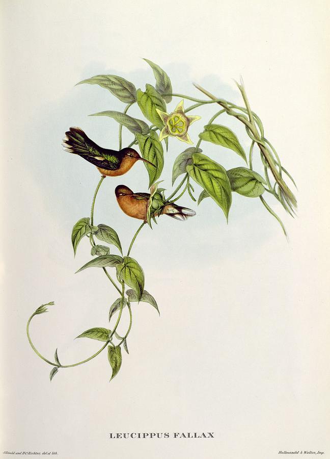 Leucippus Painting - Leucippus Fallax by John Gould