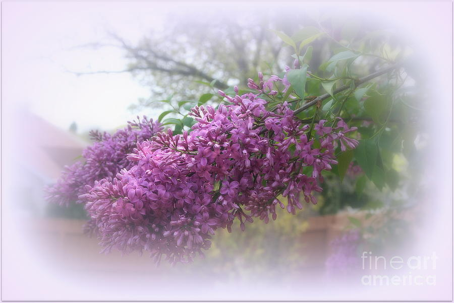 Lilacs symbolize love photograph by kay novy for Flowers that represent love