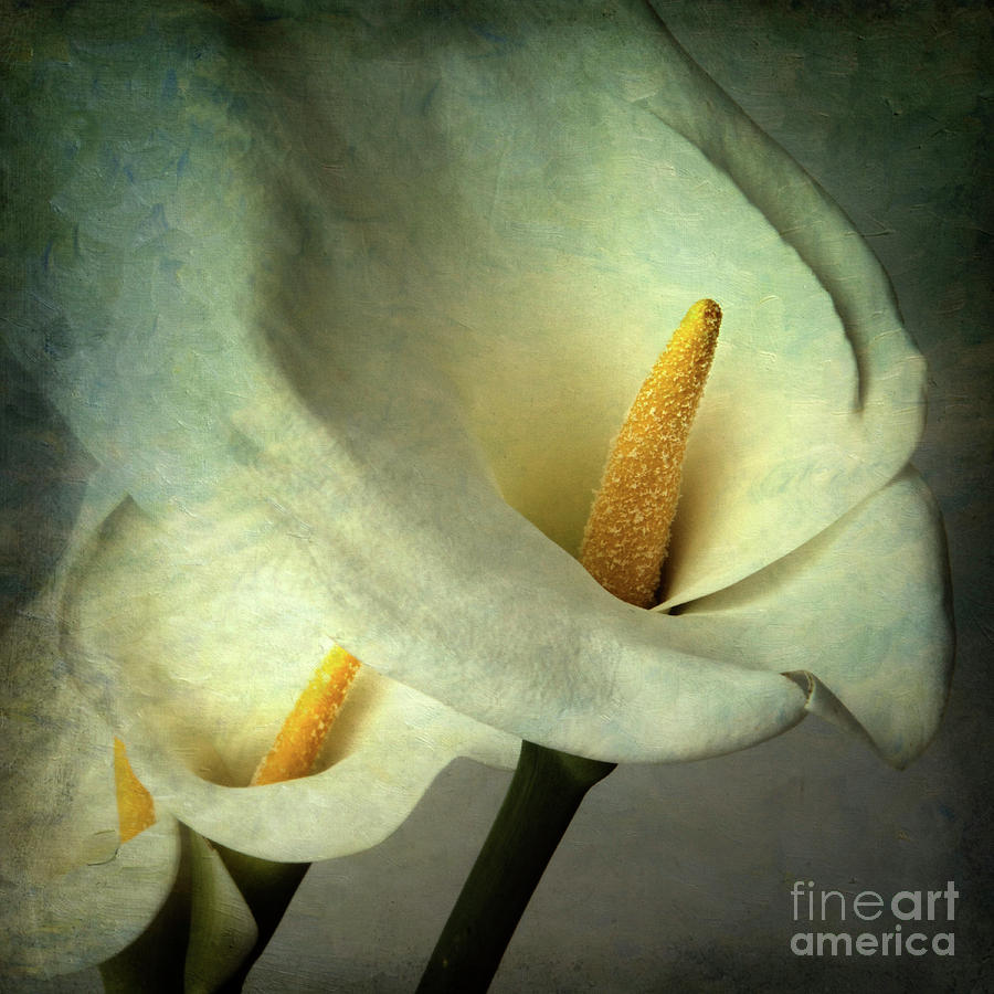 Arum Lily Photograph - Lillies by Bernard Jaubert