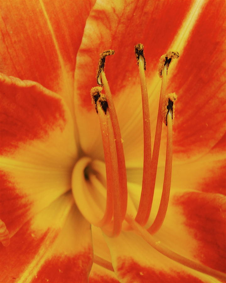 Lilly Photograph - Lilly Macro by Michael Peychich