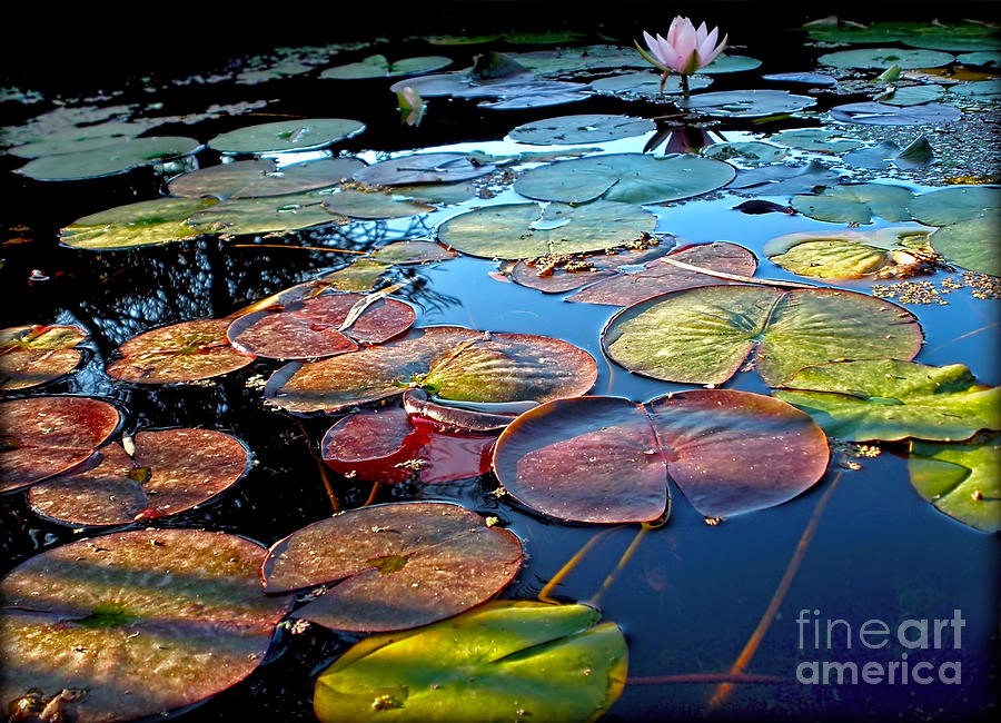 Photography Photograph - Lily Pads At Sunset by Kaye Menner