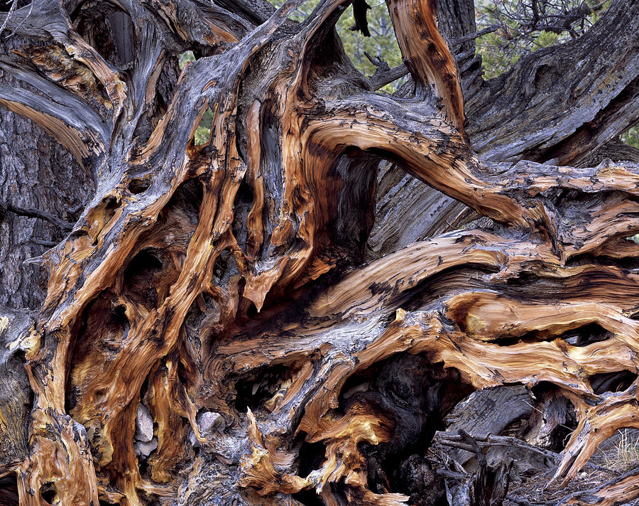 Limber Pine Photograph - Limber Pine Roots by Leland D Howard