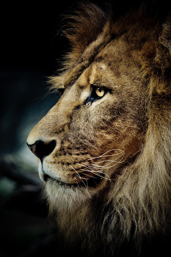 Lion Photograph - Lion by Animus Photography