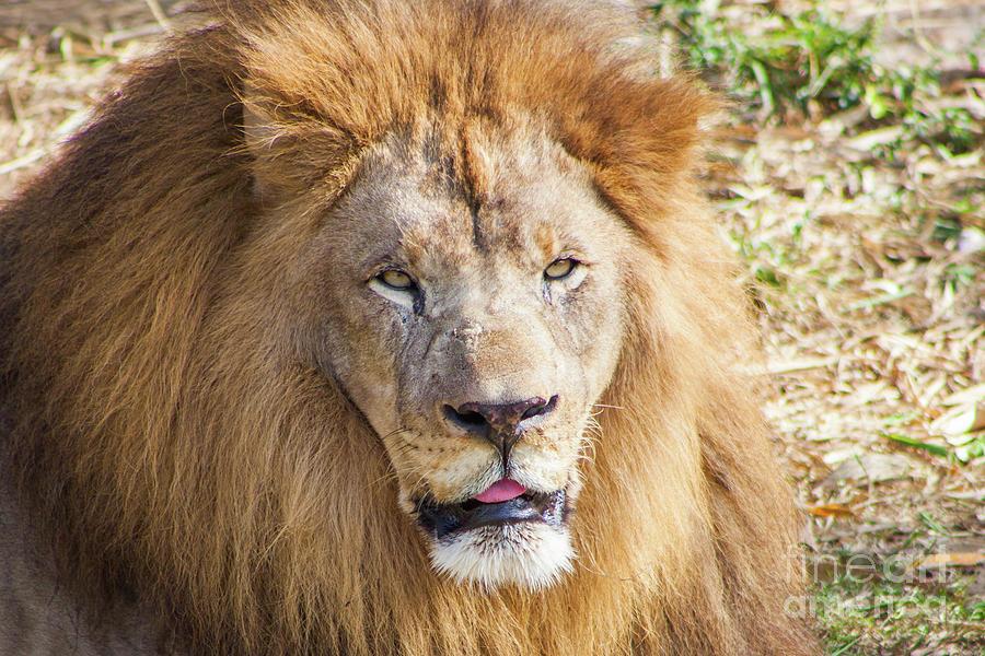 Lion Portrait Photograph