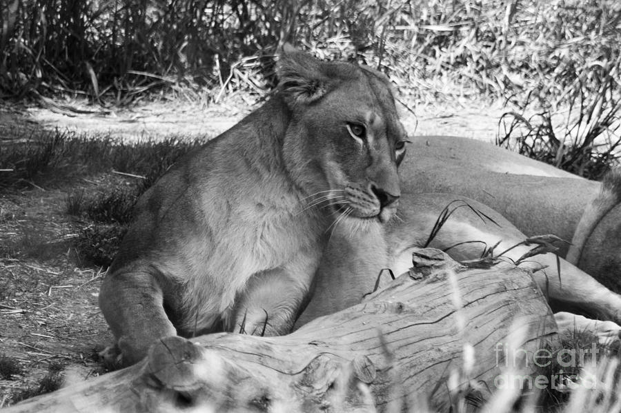 Lioness In Black And White Photograph by Andrew Bloom