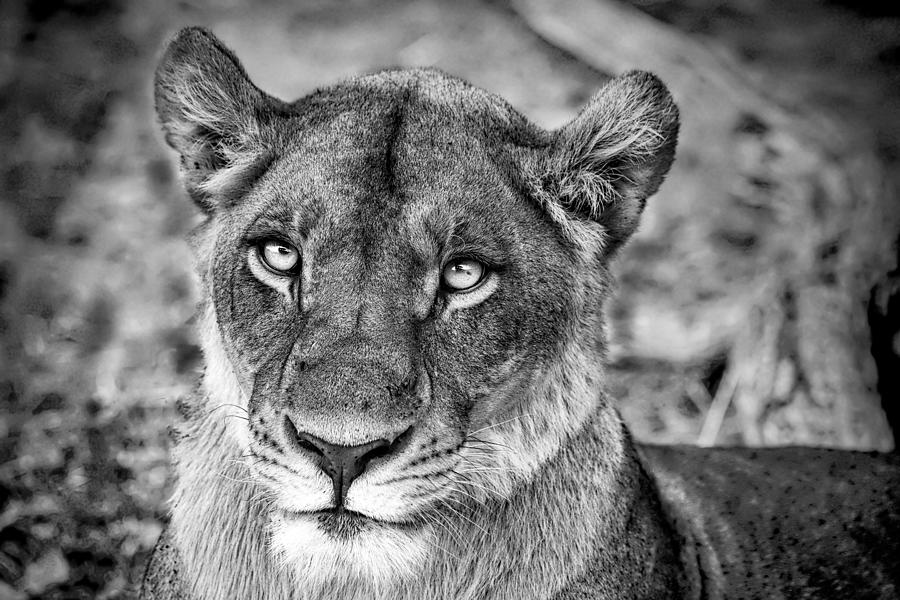 Lioness In Botswana In Black And White by Kay Brewer