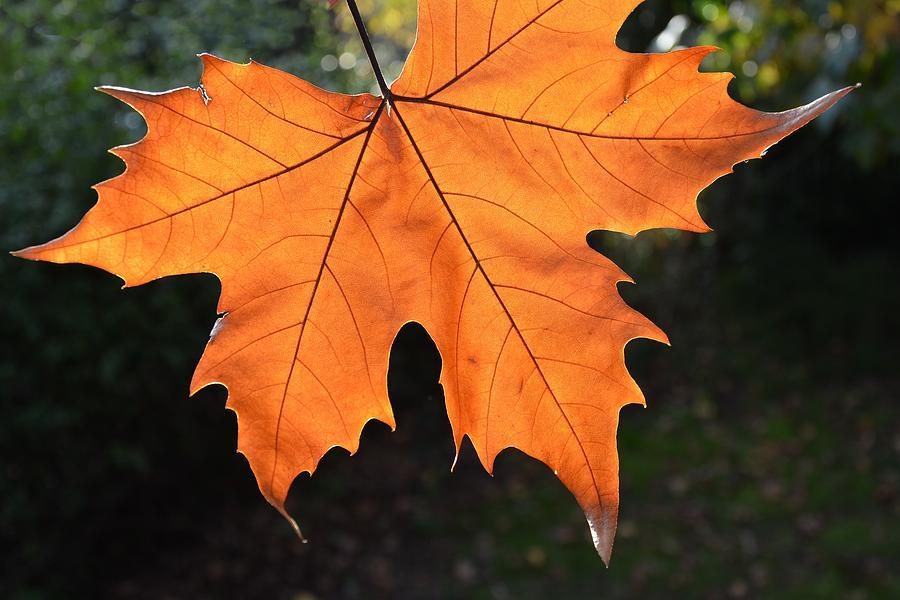 Liquid Amber Leaf Photograph By Jocelyn Friis