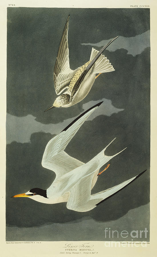 Lesser Tern. Lesser Tern. Little Tern (sterna Albifrons) From 'the Birds Of America' (aquatint & Engraving With Hand-colouring) By John James Audubon (1785-1851) Drawing - Little Tern by John James Audubon