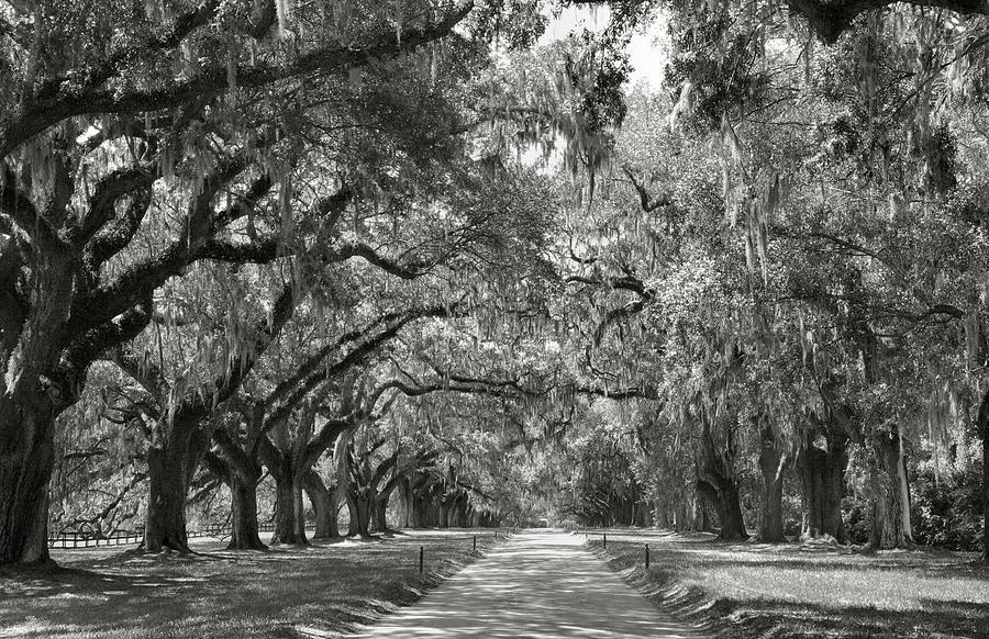 Live Oaks Photograph - Live Oak Avenue by Steven Ainsworth