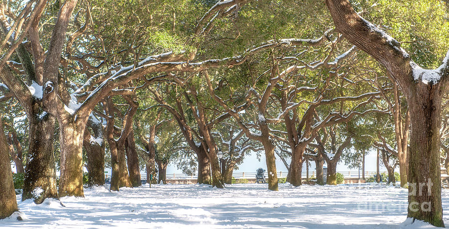 Live Oaks In Snow Photograph