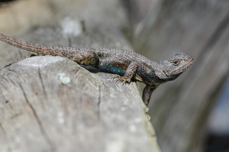 Lizard On Wood Fence Shiloh Tennessee 031620161698 Photograph