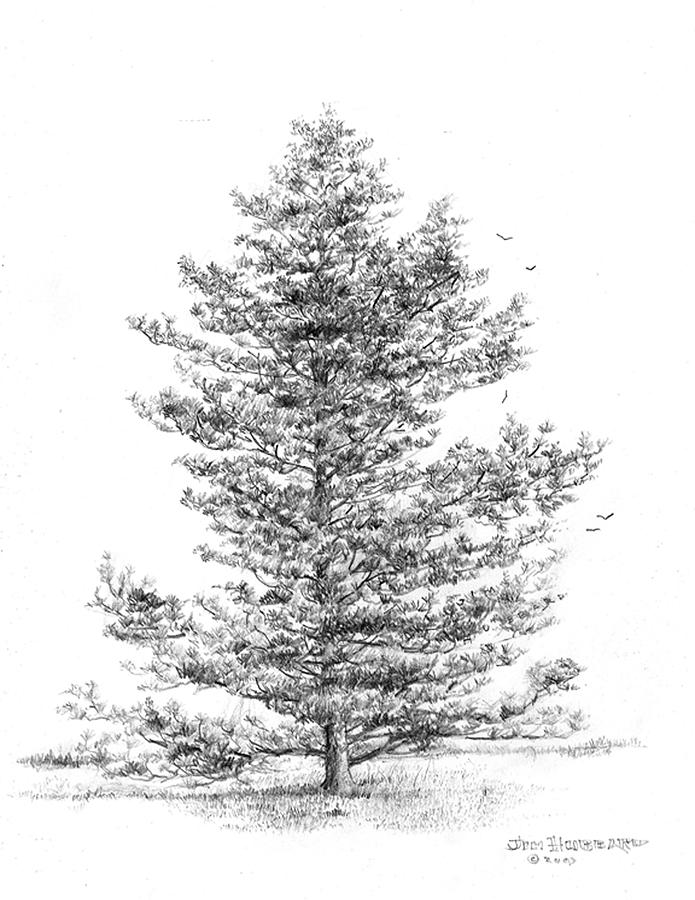State Tree Of Arkansas Drawing - Loblolly Pine by Jim Hubbard