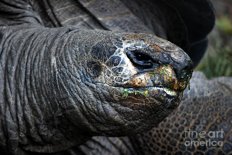 Turtles Photograph - Loggerhead by Carol Christopher