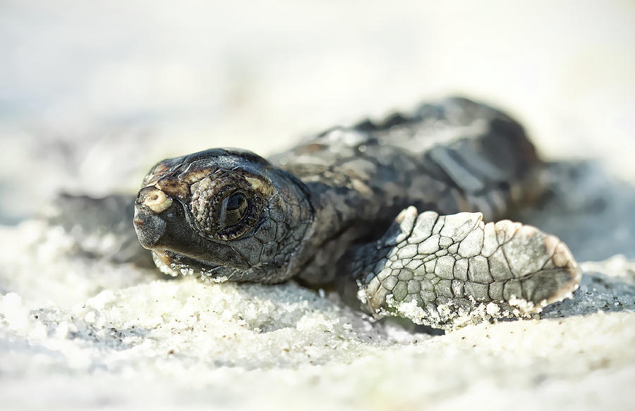 Horizontal Photograph - Loggerhead Sea Turtle Hatchling by Kristian Bell