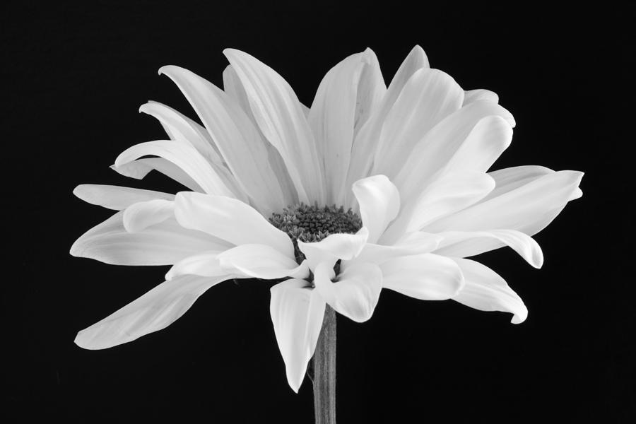 Daisy Photograph - Lone Daisy by Harry H Hicklin