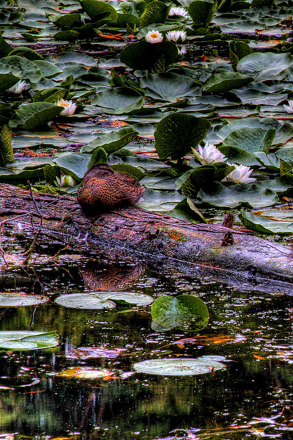 Lilly Pad Photograph - Lone Duck by David Patterson