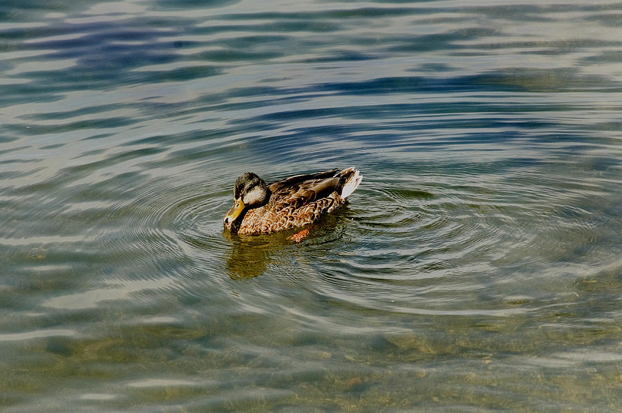 Lone Duck Swimming On A River Photograph