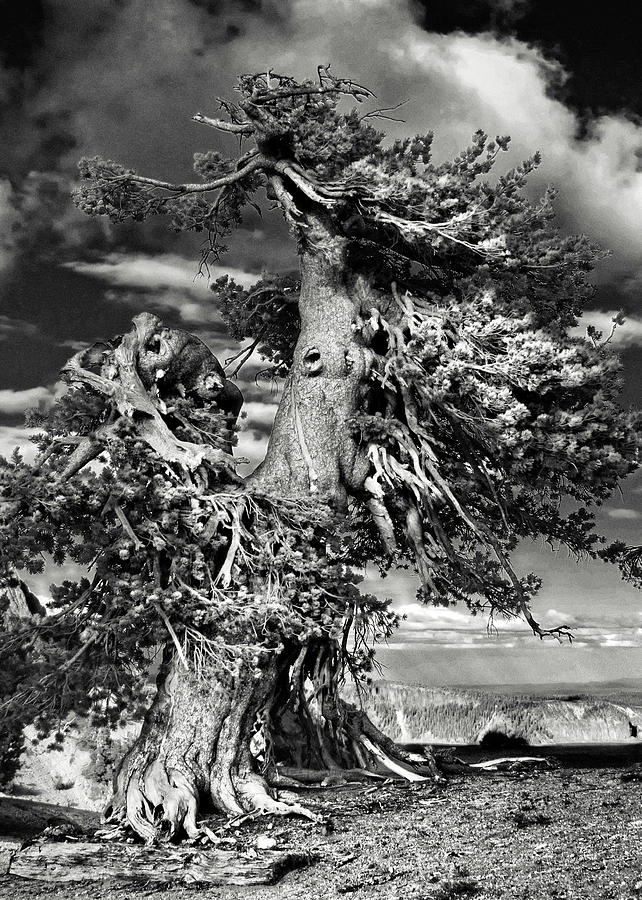 Bristlecone Pine Trees Photograph - Lone Gnarled Old Bristlecone Pines At Crater Lake - Oregon by Christine Till