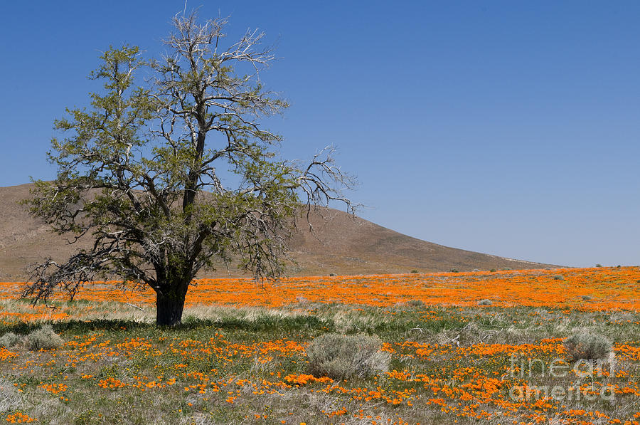 Poppies Photograph - Lone Tree In The Poppies by Sandra Bronstein