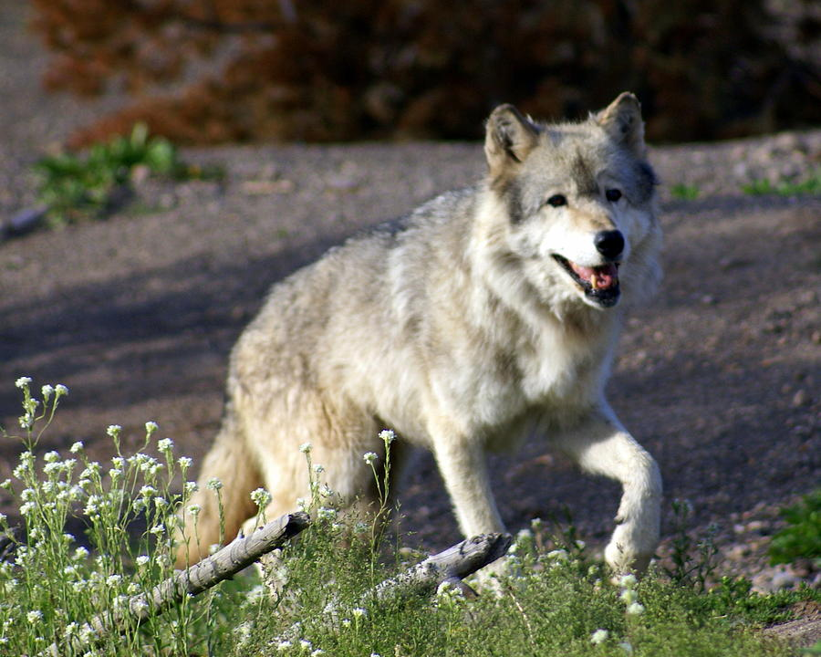 Wildlife Photograph - Lonly Wolf by Marty Koch
