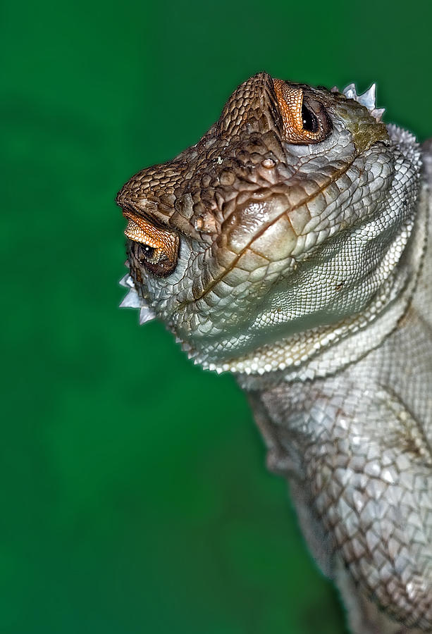 Vertical Photograph - Look Reptile, Lizard Interested By Camera by Pere Soler