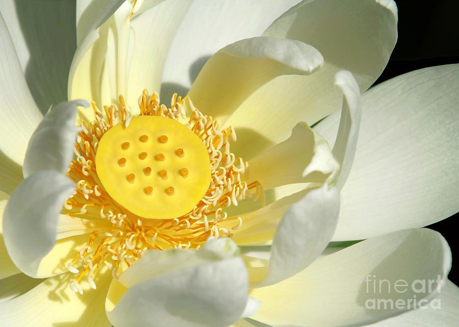 Lotus Photograph - Lotus Up Close by Sabrina L Ryan