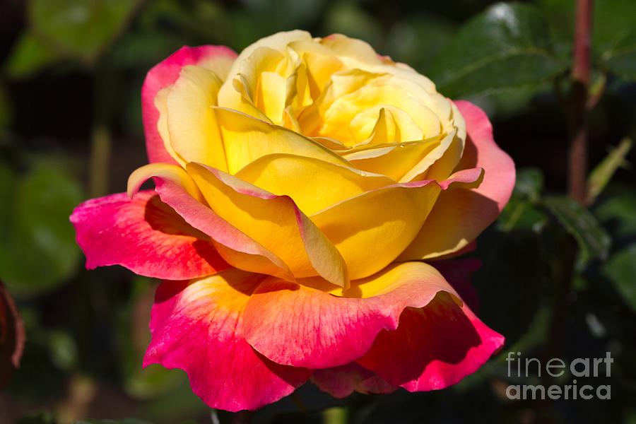 Love And Peace A Beautiful Bicolour Hybrid Tea Rose In