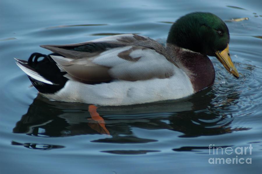 Lowcountry Mallard Duck Photograph