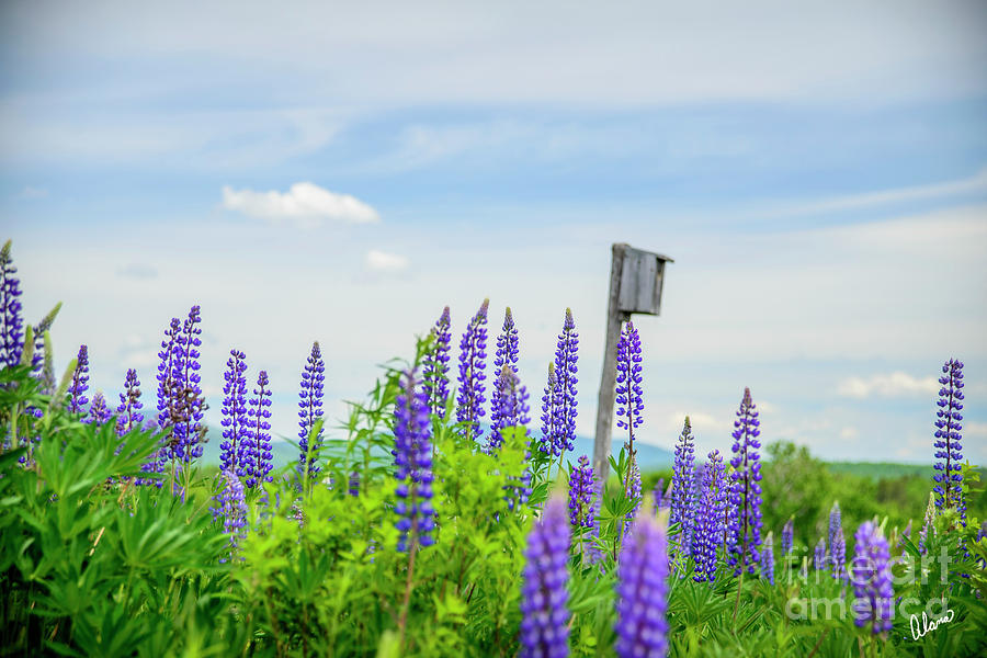 Lupines And Bird House Photograph