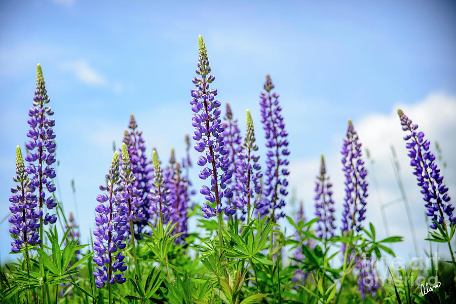 Lupines And Blue Sky Photograph