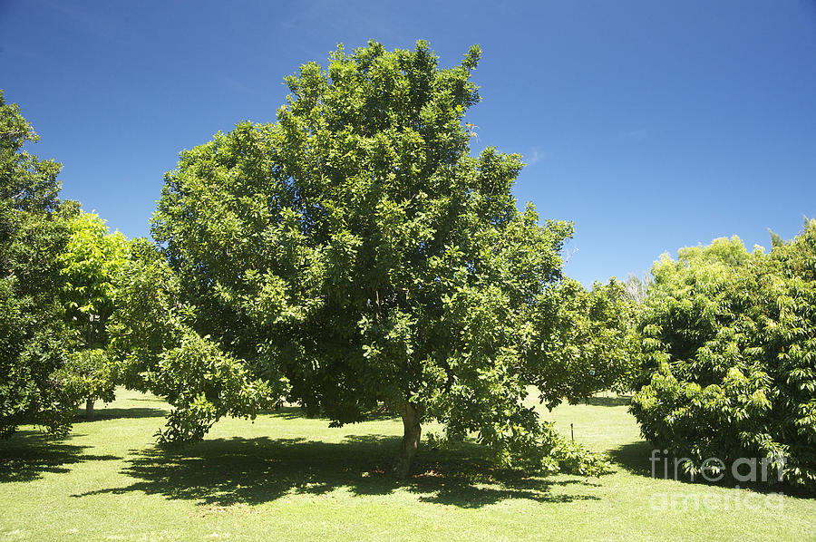 Agriculture Photograph - Macadamia Nut Tree by Kicka Witte - Printscapes