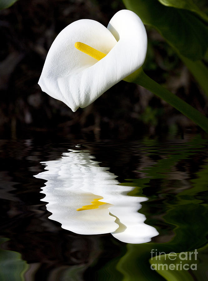 Madonna Lily Reflection Photograph