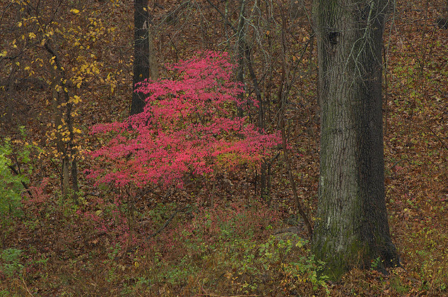 Magenta Tree In Woods Photograph