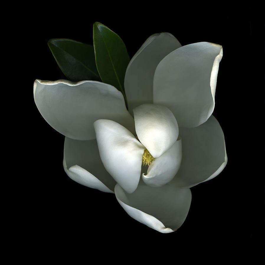 Magnolia Photograph - Magnolia by Christian Slanec